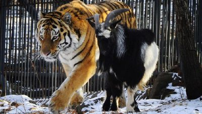 kozel i tigr